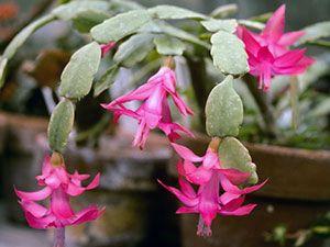 Квітка декабрист - догляд в домашніх умовах