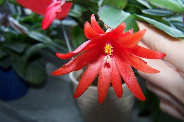 Самий насичений відтінок квітки формується при стабільній кімнатній температурі +18