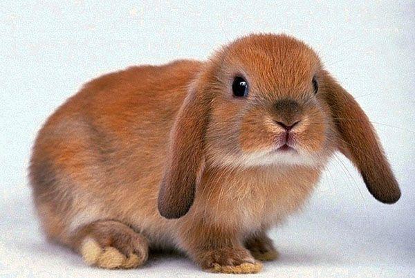 Декоративні домашні кролики прикрасять ваше життя