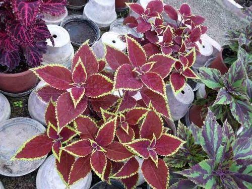 Декоративні рослини з гарними листами