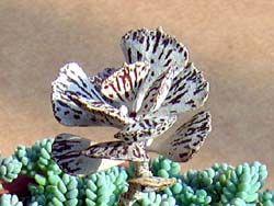 Каланхое - типова квітка без каприз
