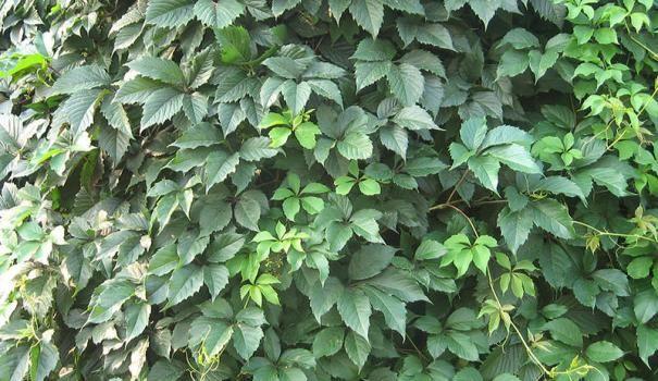 Декоративний виноград для вертикального озеленення
