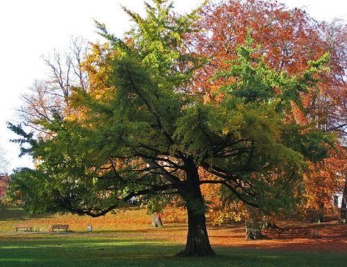 Дерево гінкго білоба відоме своїми корисними властивостями