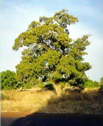 Деревo Ши