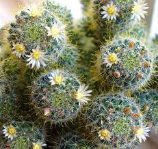 Домашні кактуси і догляд за ними