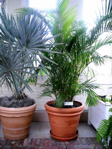 Домашні пальми на фото - прекрасна прикраса будинку
