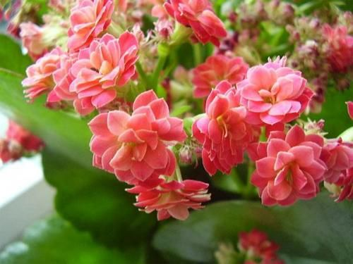 Кімнатна рослина каланхое: найбільш поширені сорти