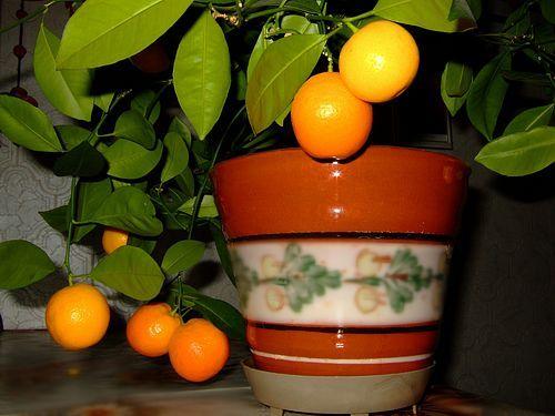 Домашній мандарин з кісточки, міф чи реальність?