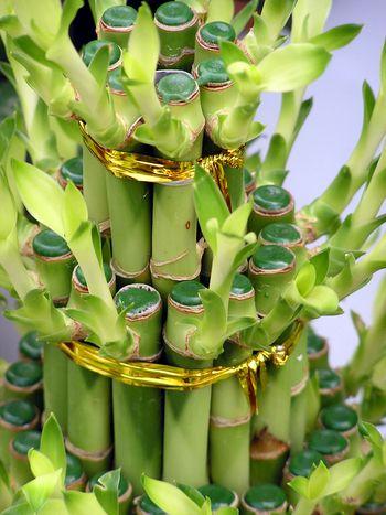 Драцена лаки бамбук