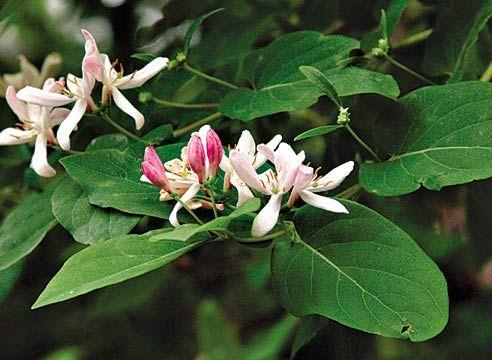 Жимолость каприфоль, Lonicera caprifolium