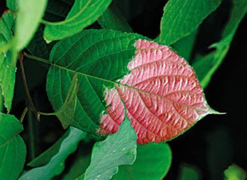 Актинідія коломікта, Actinidia kolomicta