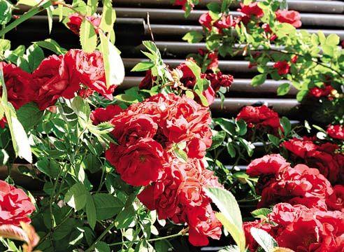 Плетиста троянда, Rosa