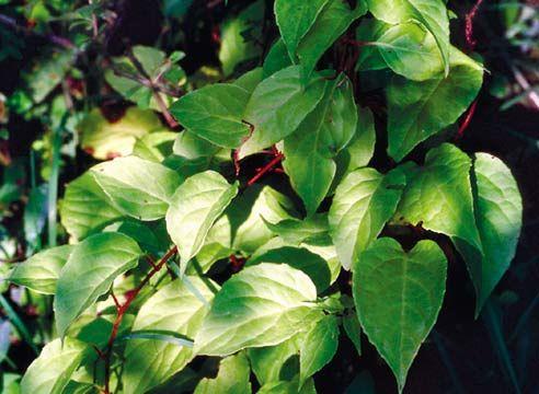 Лимонник китайський, Schizandra chinensis