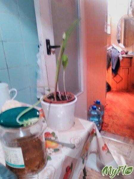 Дримиопсис: він у мене зацвів як визначити рослина по фото?
