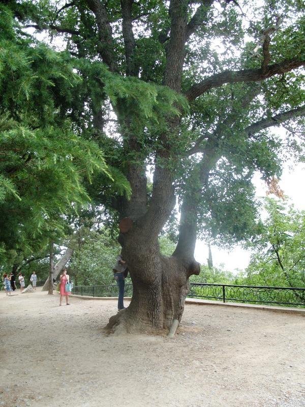 Дуби-старожили нікітського ботанічного саду