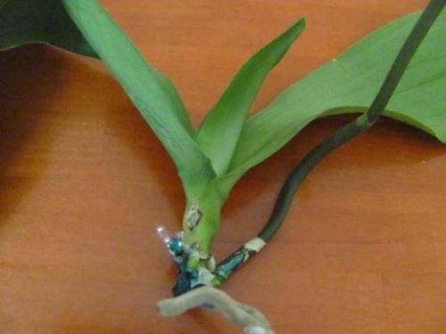 Фаленопсис - орхідея без коренів