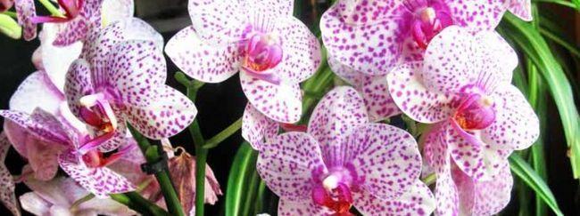 Фаленопсис (орхідея: опис рослини, посадка фаленопсиса, основний догляд за фаленопсис