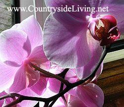 Фаленопсис. Орхідея фаленопсис