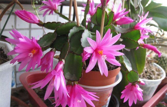 Притулок, вирощування у відкритому грунті і корисні властивості квітки