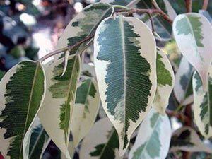 Фікус бенджаміна скидає листя. Чому? Частина 1