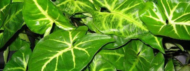 Филодендрон - зелений фаворит у вашому будинку