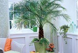 Фінікова пальма на підвіконні: від можливостей до результату