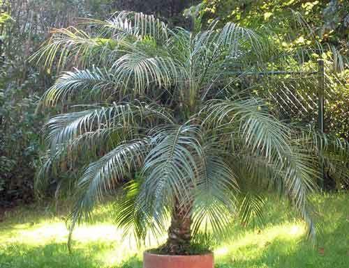 Фінікова пальма нагадає про заморські країни