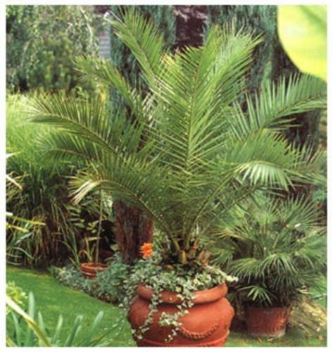 Фінікова пальма - прикраса кімнати
