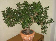 Фітонциди кімнатних рослин