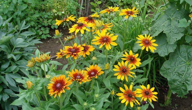 Гайлардія багаторічна: види, вирощування з насіння, догляд