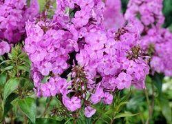 Флокси багаторічні: посадка в саду і правила догляду
