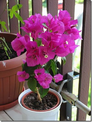 Фото бугенвиллии - гарна декоративна рослина з незвичайними квітками