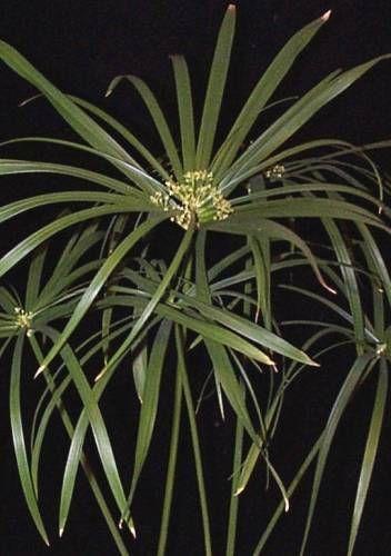 Фото циперуса підкреслюють граціозність рослини
