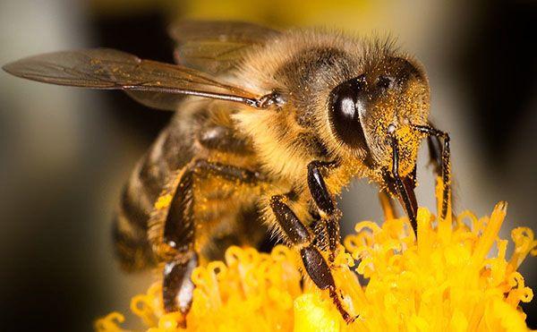 Фото і опис медоносних порід бджіл
