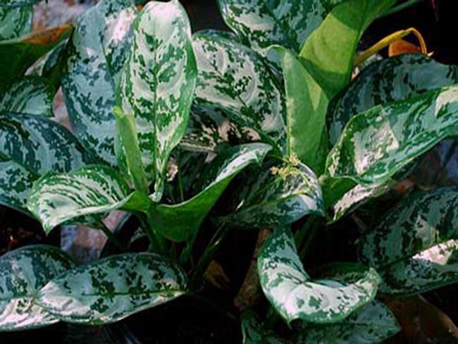 Aglaonema marantifolium / Аглаонема продолговатолістная