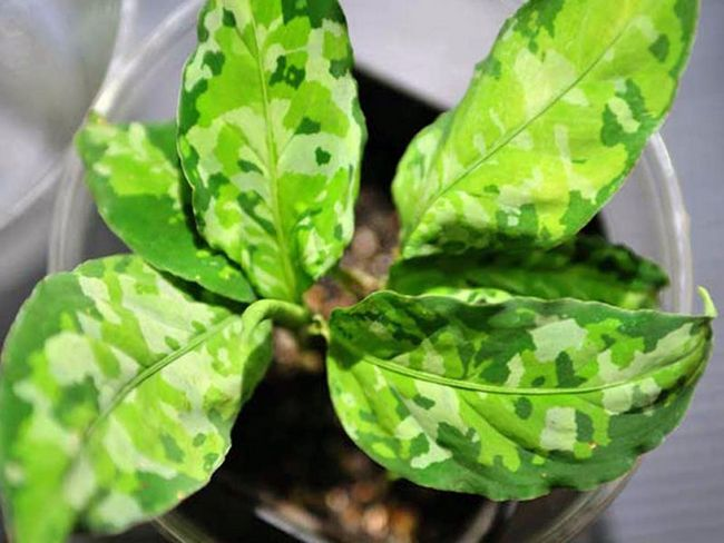 Aglaonema pictum / Аглаонема розписна