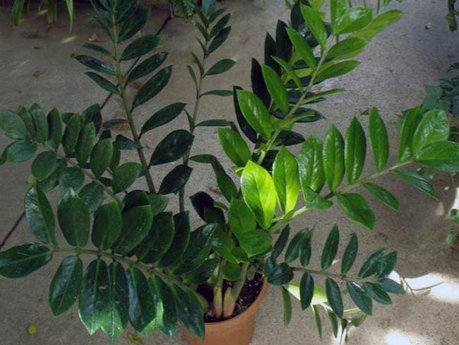 Zamioculcas zamiifolia (loddigesii) / Замиокулькас заміелістний (Лоддігеза)
