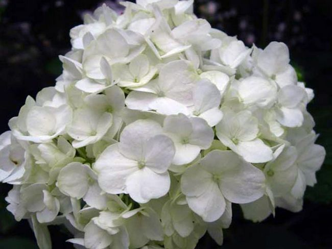 Hydrangea macrophylla / Гортензія садова (крупнолистная)