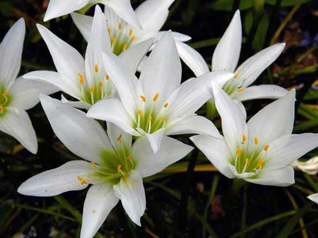 Zephyranthes atamasca / Зефирантес атамасскій