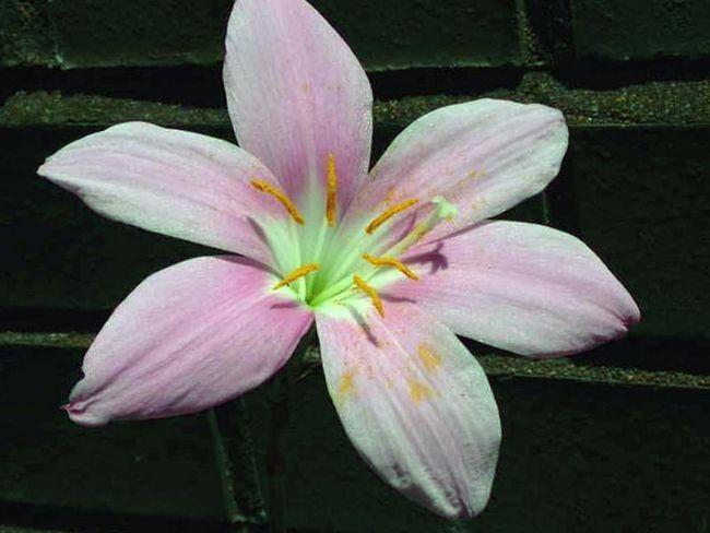 Zephyranthes grandiflora / Зефирантес крупноцветковий