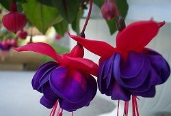 Фуксія - витончений квітка з туманних підлісків