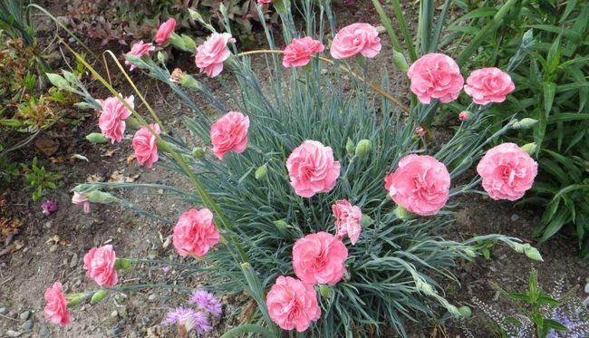 «Божественний квітка» - гвоздика багаторічна: посадка і догляд