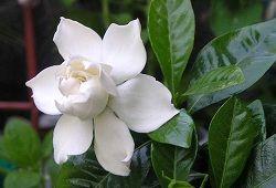 Гарденія для краси і користі: догляд за білосніжною кокеткою