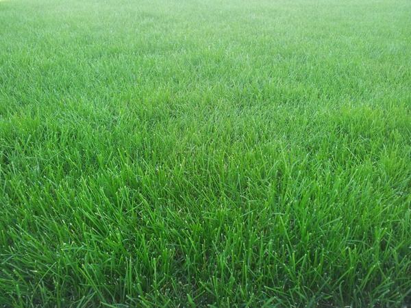 Газон зелений килим на вашій ділянці
