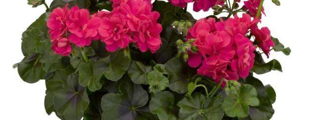 Герань: опис, розмноження, догляд, посадка, застосування в саду, фото, сорти і види