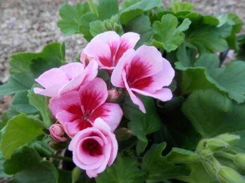 Герань зацвіте в червні - від посіву до цвітіння