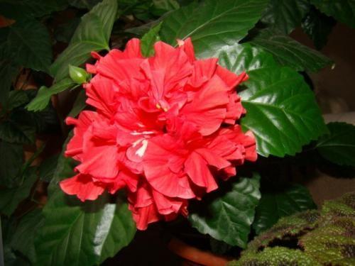 Гібіскус або китайська троянда