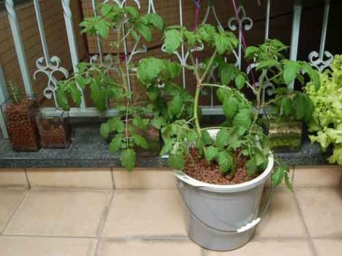 Вирощування томатів на гідропоніці