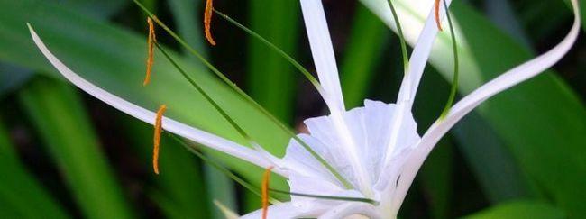 Гіменокаліс ранній (ісмене: опис, розмноження, догляд, посадка, застосування в саду, фото, сорти і види