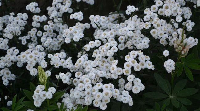 Гіпсофіла - незамінний квітка для садівників, які люблять свій сад